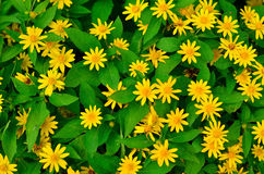 Green leaves background and yellow flowers Stock Photography
