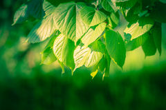 Green leaves backgrounds with selective focus. Stock Photos