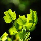 Green leaves backlit Stock Images