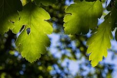 Green Leaves Backlit by the Sun. Three Green Leaves Backlit by the Sun Royalty Free Stock Photography