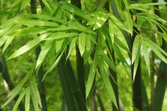 Green leaves of bamboo Royalty Free Stock Photography