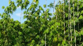 Green leaves of a bamboo on long trunks sway in the wind against the blue sky. Bamboo exotic forest in the southeast of asia. Tropical foliage trembling in the stock video footage