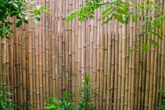Green leaves with bamboo wall background for garden decoration. Royalty Free Stock Image