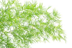 Bamboo on white background. Green leaves bamboo white background Stock Images