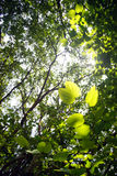 Green Leaves. Leaves of the Bauhinia Trees Stock Photo
