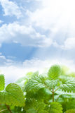 Green leaves and beautiful blue sky Royalty Free Stock Photography