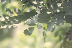 Green leaves. Beautiful green leaves , outdoor photography Royalty Free Stock Photos