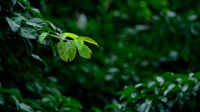The green leaves Royalty Free Stock Photo