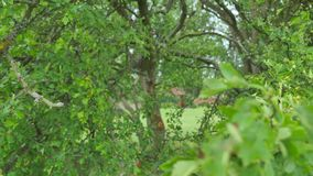 Green leaves.Beautiful summer green maple tree swinging in the wind stock footage