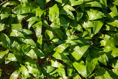 Green leaves. Big green plant leaves growing Stock Photo