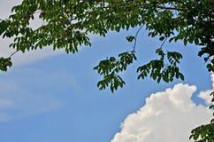 Green leaves of burma padauk tree and blue sky Royalty Free Stock Photos