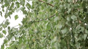 Green leaves birch gloomy day. Close up stock footage