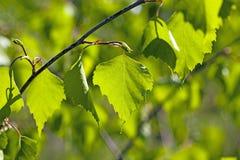 Birch leaves Stock Photo