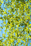 Green leaves on a birch in the spring Stock Image