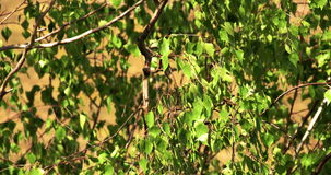 The green leaves of the birch tree 4K FS700 Odyssey 7Q. The green leaves from the tall birch tree 4K FS700 Odyssey 7Q stock video footage