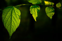 Green leaves. With black background Royalty Free Stock Photos