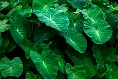 Green Leaves black background,Creative layout made of green leaves. royalty free stock image