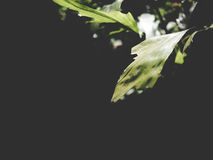 This is green leaves on black background,  soft tone Royalty Free Stock Images