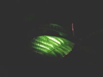 This is green leaves on black background,  soft tone Stock Photo