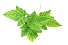Green leaves of black currant Royalty Free Stock Photos
