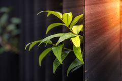 Green leaves at the black metal fence with sunlight at dawn. Royalty Free Stock Photo