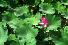 Green leaves and blossoming lotus Stock Image