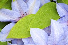 Green leaves with blue clematis flowers Stock Photo