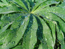 Green leaves with blue drops of water Royalty Free Stock Images