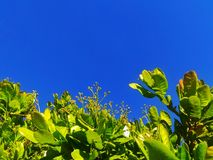 Green leaves with blue sky background. Blue sky with green leaves Stock Images