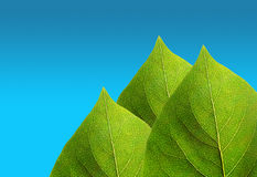 Green leaves on blue sky Stock Photos