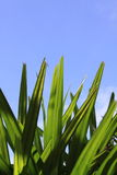 Green leaves and blue sky. Closeup of green leaves and blue sky Royalty Free Stock Image