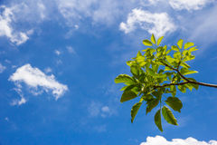 Green leaves on blue sky Royalty Free Stock Photo