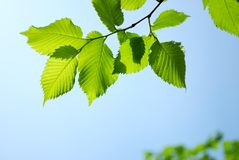 Green leaves on blue sky background Stock Images