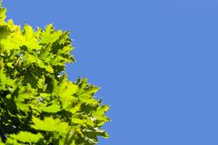 Green leaves and blue sky Royalty Free Stock Images