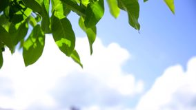Green leaves on blue sky background stock footage