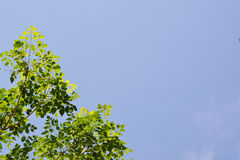 Green Leaves on blue sky Royalty Free Stock Photography