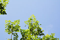 Green Leaves on blue sky Stock Image