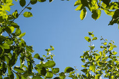 Green leaves on blue sky background Royalty Free Stock Photos