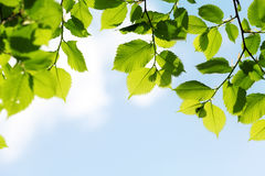 Green leaves on blue sky background Royalty Free Stock Images