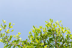 Green leaves with blue sky background Royalty Free Stock Photos