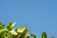 Green leaves and blue sky in morning for background and space fo Stock Photography