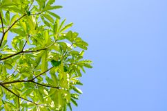 Green leaves and blue sky in noon. Stock Photography