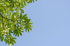 Green leaves and blue sky in noon. Stock Photos