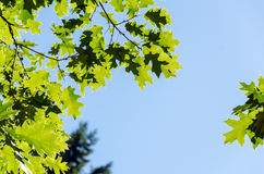Green Leaves and Blue Sky Royalty Free Stock Photography