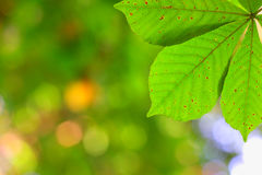 Green leaves and blur Royalty Free Stock Images