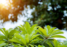 Green leaves and blur background with sunset light Stock Photos