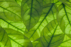 Green leaves blurred background Stock Photo
