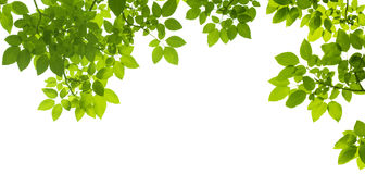 Green Leaves border. On white background isolated Royalty Free Stock Photos
