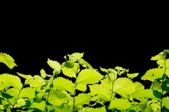 Green leaves border. Border of green leaves in backlight, black background Stock Images