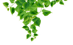 Green Leaves Border. Ecology concept. Green leaves border on white background Stock Photos